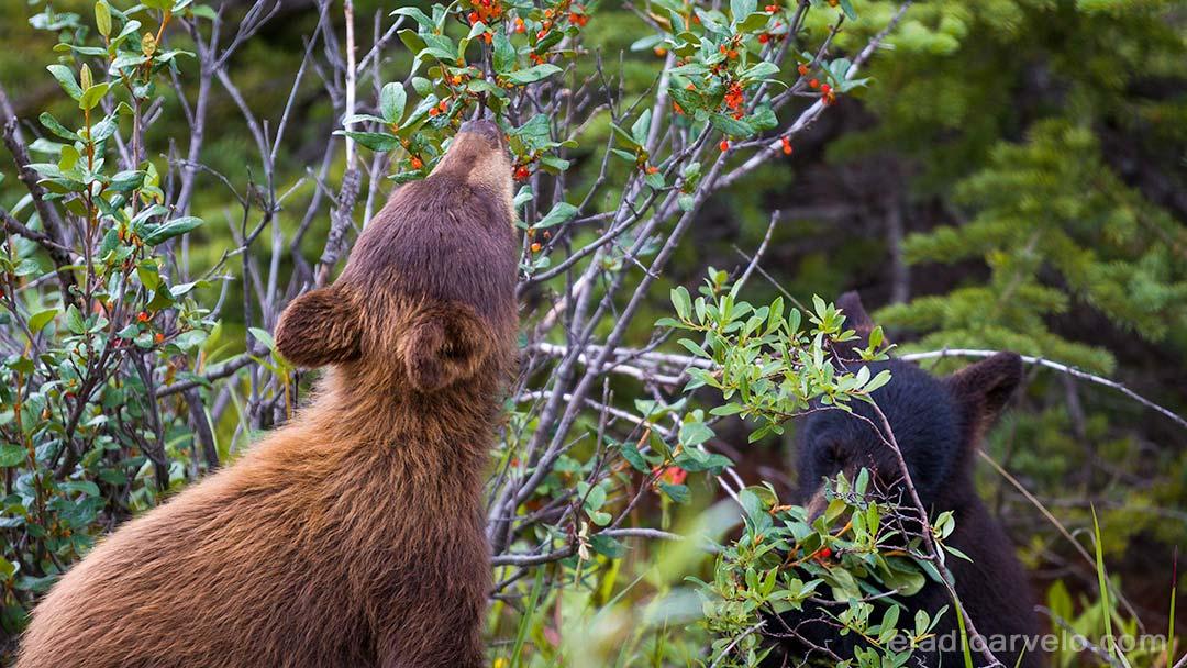 Bear cubs eating berries along the road at Jasper National Park.