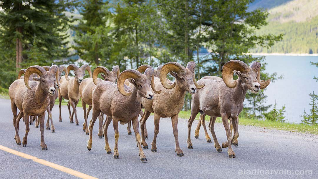 Herd of bighorn sheep running on Lake Minnewanka Scenic Drive.