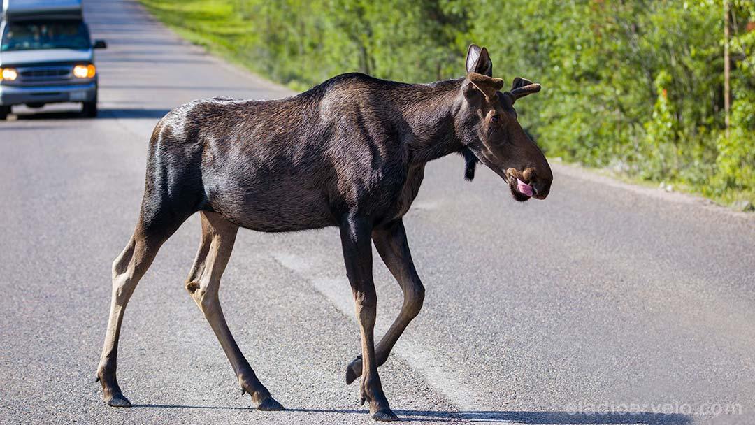 Moose crossing the street at Jasper National Park.